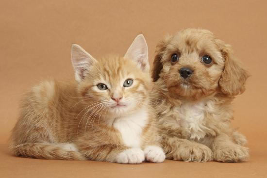 mark-taylor-cavapoo-puppy-and-ginger-kitten