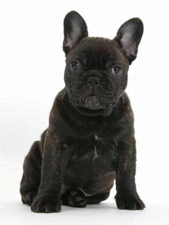 mark-taylor-dark-brindle-french-bulldog-pup-bacchus-9-weeks-old-sitting