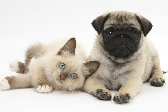 mark-taylor-fawn-pug-puppy-8-weeks-and-birman-cross-kitten