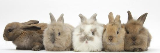 mark-taylor-five-baby-lionhead-cross-rabbits-in-line