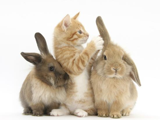 mark-taylor-ginger-kitten-7-weeks-playing-with-ear-of-young-lionhead-lop-rabbits