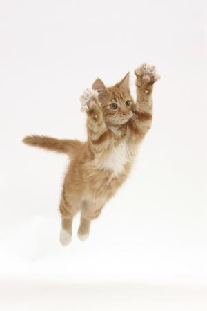 mark-taylor-ginger-kitten-leaping-with-legs-and-claws-outstretched