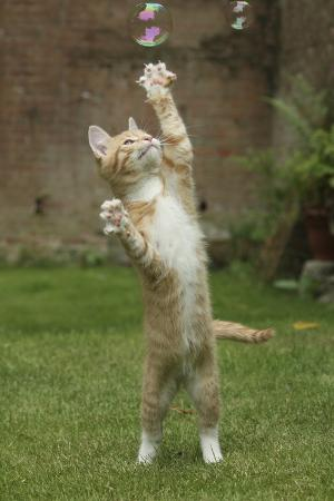 mark-taylor-ginger-kitten-swiping-at-a-soap-bubble