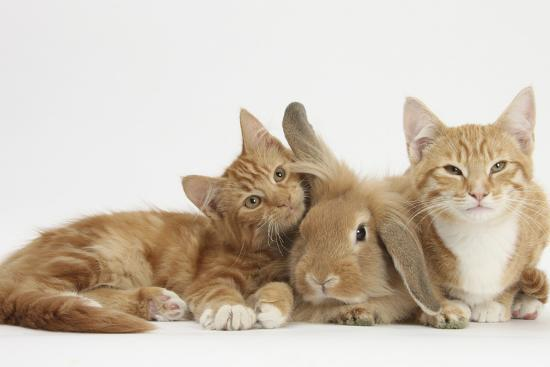 mark-taylor-ginger-kittens-with-sandy-lionhead-lop-rabbit