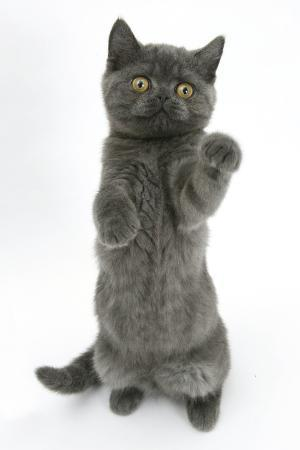 mark-taylor-grey-kitten-reaching-up