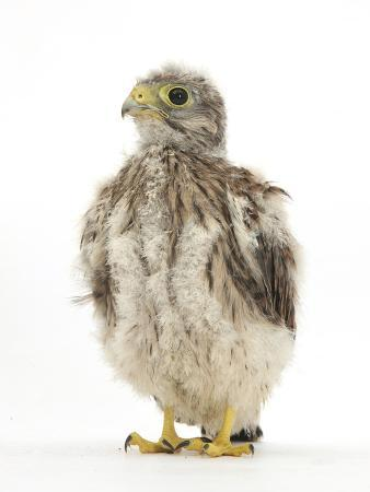mark-taylor-kestrel-falco-tinnunculus-hand-reared-chick-portrait