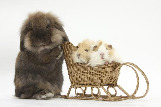 mark-taylor-lionhead-cross-rabbit-pushing-two-young-guinea-pigs-in-a-wicker-toy-sledge