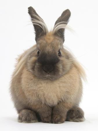 mark-taylor-lionhead-cross-rabbit-resting-portrait