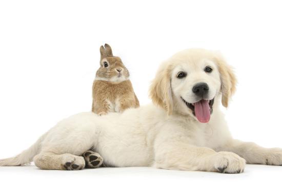 mark-taylor-netherland-cross-rabbit-looking-over-the-back-of-golden-retriever-dog-puppy-oscar-3-months