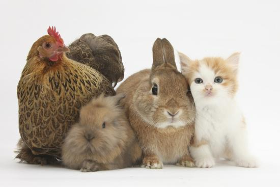 mark-taylor-partridge-pekin-bantam-with-kitten-sandy-netherland-dwarf-cross-and-baby-lionhead-cross-rabbit