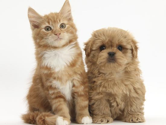 mark-taylor-peekapoo-puppy-and-ginger-kitten