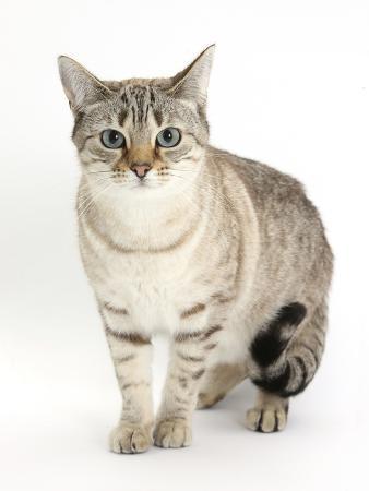 mark-taylor-sepia-snow-bengal-cross-female-cat-lilli