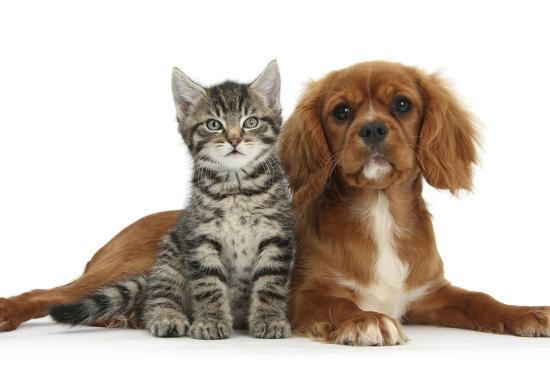 mark-taylor-tabby-kitten-fosset-8-weeks-old-sitting-with-ruby-cavalier-king-charles-spaniel-bitch-star
