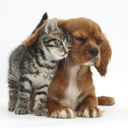 mark-taylor-tabby-kitten-fosset-8-weeks-rubbing-against-ruby-cavalier-king-charles-spaniel-bitch-star