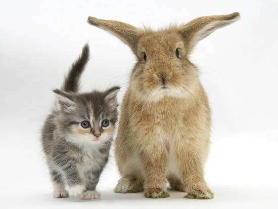 mark-taylor-tabby-kitten-with-sandy-lionhead-cross