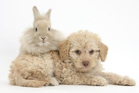 mark-taylor-toy-labradoodle-puppy-and-lionhead-cross-rabbit