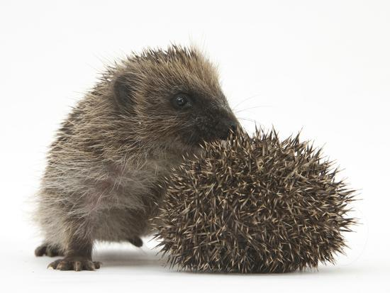 mark-taylor-two-young-hedgehogs-erinaceus-europaeus-one-standing-one-rolled-into-a-ball
