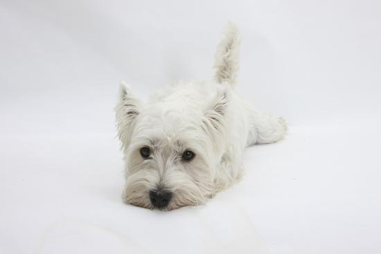 mark-taylor-west-highland-white-terrier-lying-stretched-out-with-her-chin-on-the-floor