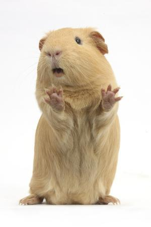 mark-taylor-yellow-guinea-pig-standing-up-and-squeaking-against-white-background