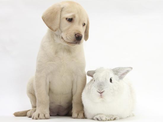 mark-taylor-yellow-labrador-retriever-puppy-8-weeks-with-white-rabbit