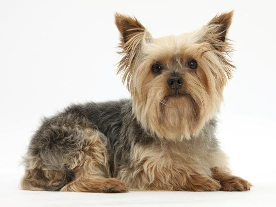mark-taylor-yorkshire-terrier-against-a-white-background
