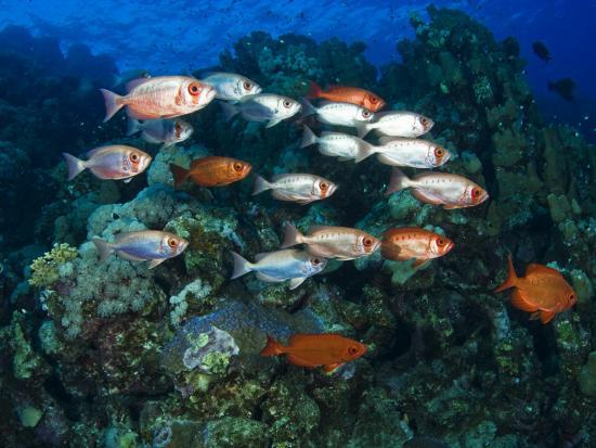 mark-webster-big-eye-squirrel-fish-shoal-st-john-s-reef