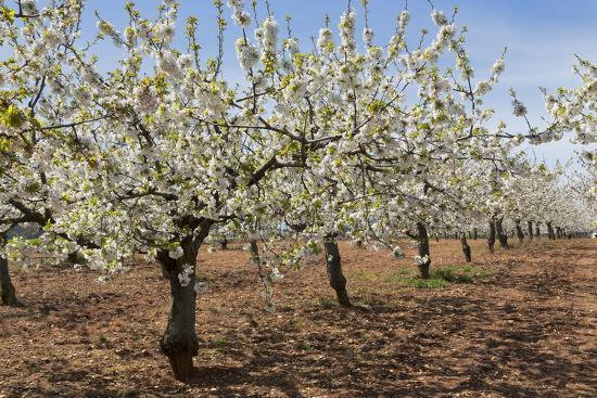 martin-almond-orchard-in-blossom-puglia-italy-europe