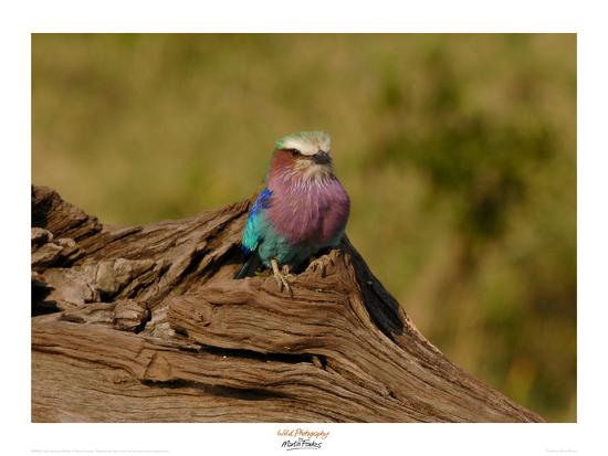 martin-fowkes-lilac-breasted-roller