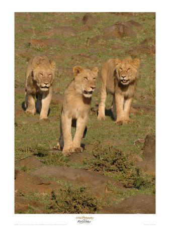 martin-fowkes-lionesses-on-the-hunt