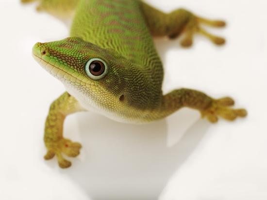 martin-harvey-day-gecko