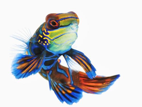 martin-harvey-mandarinfish