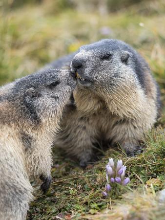 martin-zwick-alpine-marmot-in-the-hohe-tauern-mount-grossglockner-austria