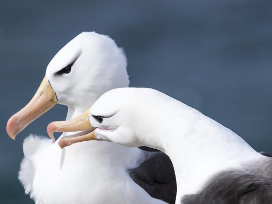 martin-zwick-black-browed-albatross-greeting-courtship-display-falkland-islands