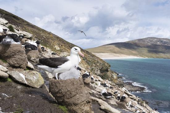 martin-zwick-black-browed-albatross-or-mollymawk-colony-falkland-islands