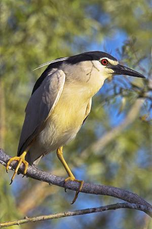 martin-zwick-black-crowned-night-heron-bird-in-the-danube-delta-portrait-romania