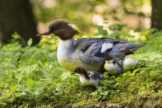 martin-zwick-common-merganser-with-chicks-munich-bavaria-germany