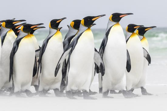 martin-zwick-falkland-islands-south-atlantic-group-of-king-penguins-on-beach