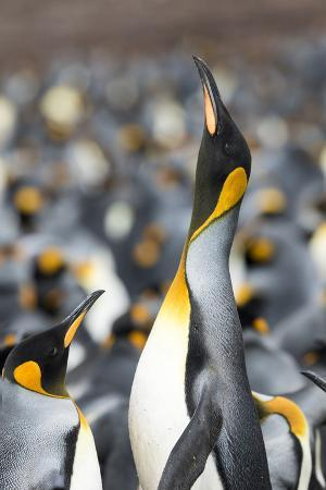 martin-zwick-falkland-islands-south-atlantic-king-penguin-trumpeting