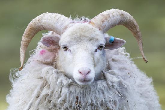 martin-zwick-foula-sheep-on-the-island-of-foula-shetland-islands-scotland