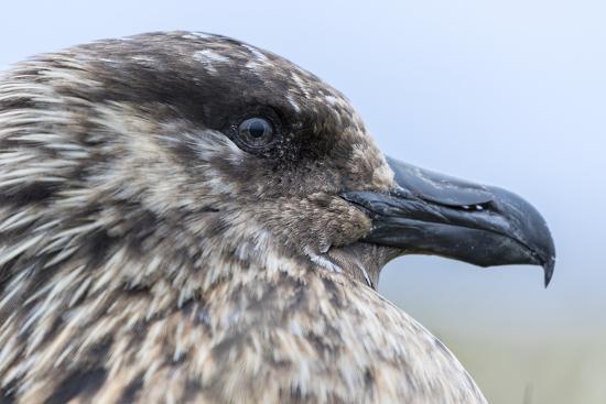 martin-zwick-great-skua-scotland-shetland-islands