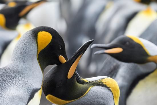 martin-zwick-king-penguin-falkland-islands-south-atlantic-courtship-display