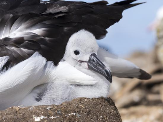 martin-zwick-mollymawk-chick-with-adult-bird-on-nest-falkland-islands