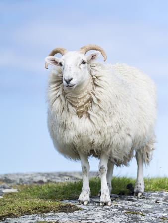 martin-zwick-portrait-of-a-cheviot-sheep-on-the-isle-of-harris-schotland