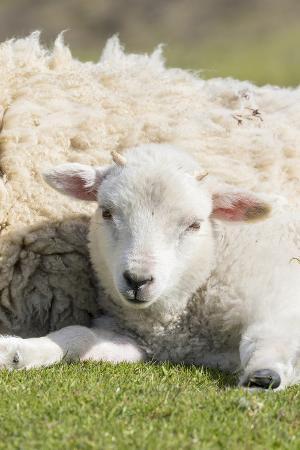 martin-zwick-shetland-sheep-at-the-cliffs-of-the-hermaness-nature-reserve-unst-shetland-islands-scotland