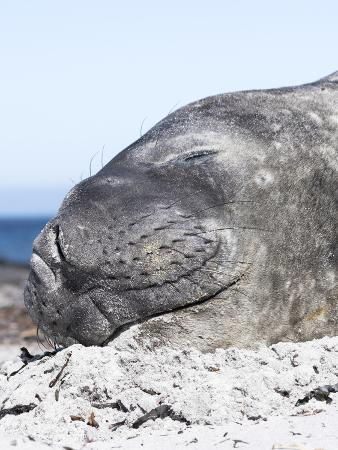 martin-zwick-southern-elephant-seal-males-are-social-after-the-breeding-season