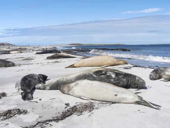 martin-zwick-southern-elephant-seal-males-on-sandy-beach-falkland-islands