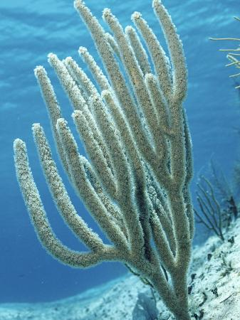 marty-snyderman-sea-whip-gorgonian-soft-coral-caribbean-sea