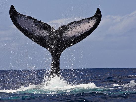 marty-snyderman-the-tail-of-humpback-whale-megaptera-novaeangliae-that-is-displaying-or-tail-lobbing