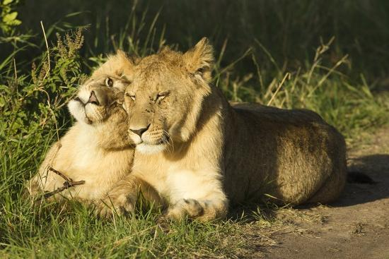 mary-ann-mcdonald-african-lion-cubs