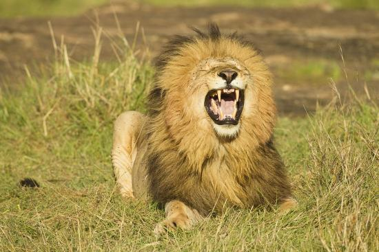 mary-ann-mcdonald-african-male-lion